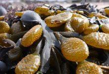 Photo of دراسة: طريقة رخيصة لإنتاج الوقود والأسمدة من الأعشاب البحرية