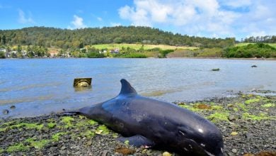 Photo of ارتفاع عدد الدلافين النافقة نتيجة التسرّب النفطي في موريشيوس