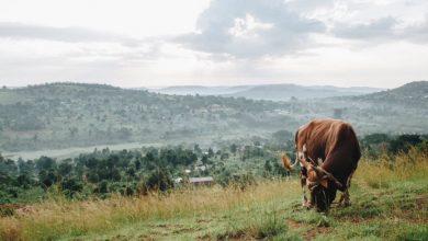 Photo of تجربة إفريقية تحصل على الطاقة من قشور الموز وروث البقر