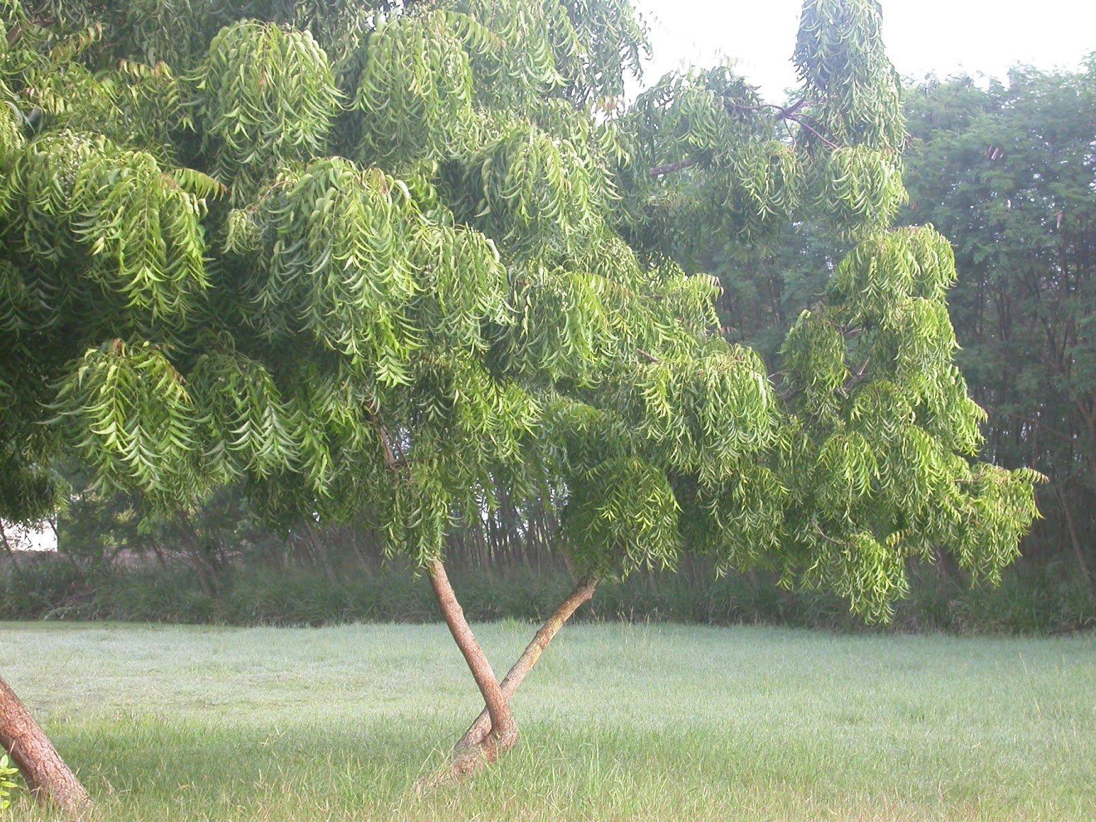 أشجار النيم