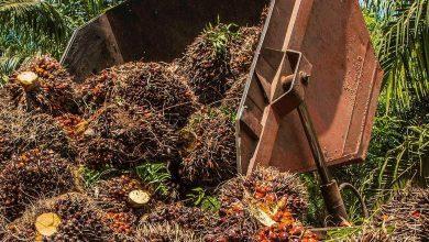 Photo of صناعة زيت النخيل في البرازيل تهدد غابات الأمازون