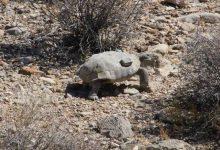 Photo of مشروعات الطاقة الشمسية في نيفادا تهدد بانقراض السلاحف الصحراوية